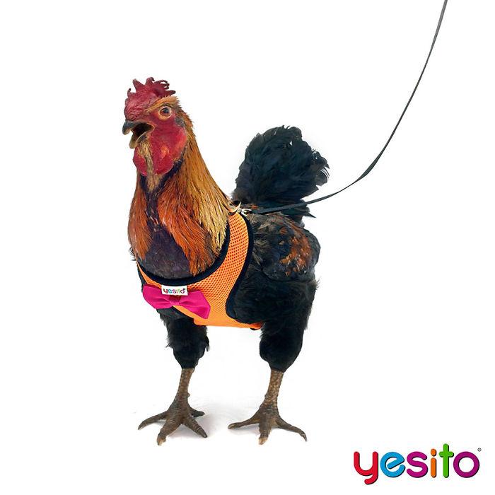 Guinzaglio imbracatura per polli e galline, Yesito, Amazon