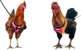 Amazon vende guinzagli per galline per aiutare te e il tuo pollo ad attraversare la strada