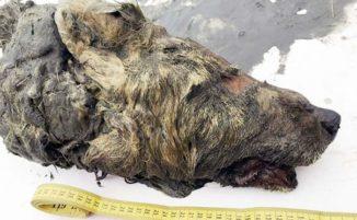 La testa di un gigantesco lupo di 40.000 anni trovata in Siberia e gli scienziati vogliono clonare l'animale