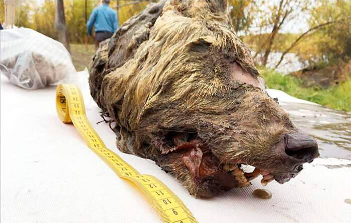 La testa di un gigantesco lupo preistorico trovata in Siberia
