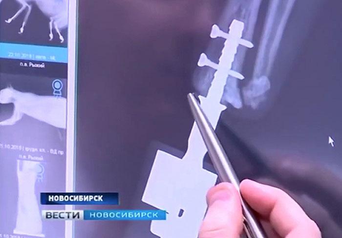 Gatto perde gli arti a causa del gelo e ora ha 4 protesi impiantate