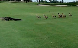Anatre arrabbiate interrompono una partita di golf per inseguire un alligatore
