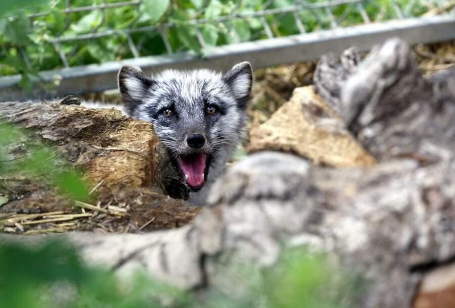 30 foto di animali scampati al destino di diventare pellicce glamour e che ora vivono felici in riserve