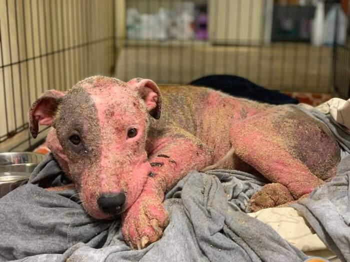 Cagnolina maltrattata e sepolta viva dal padrone trovata in una spiaggia delle Hawaii. È salva