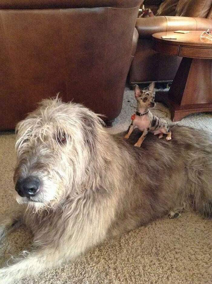 Foto divertenti di levrieri irlandesi mostrano quanto sono grandi, irish wolfhound