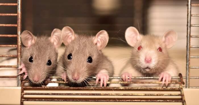 Il Giappone vuole creare incroci tra umani e topi per farne una fabbrica di organi da trapianto