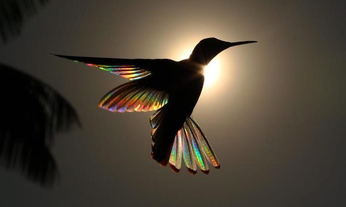 Fenomeno naturale trasforma le ali di un colibrì in un arcobaleno