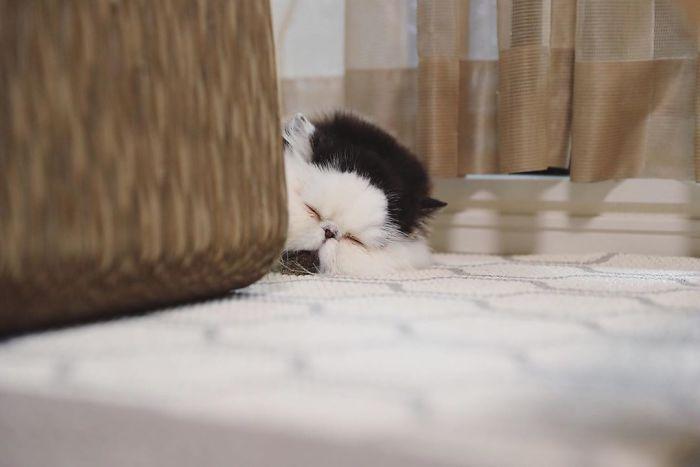 Zuu, il gatto con la faccia così tonda che rotolerà dritta nel tuo cuore