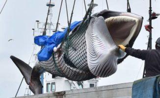 Nonostante le proteste della gente, il Giappone riprende la caccia alle balene dopo 31 anni di divieto