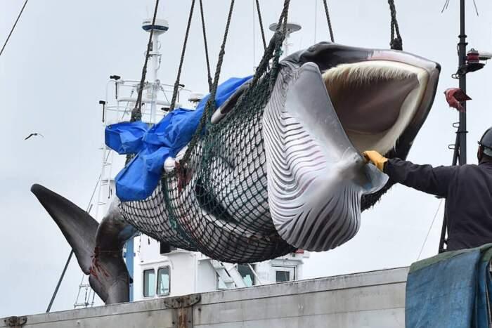 Il Giappone riprende la caccia alle balene dopo 31 anni di divieto