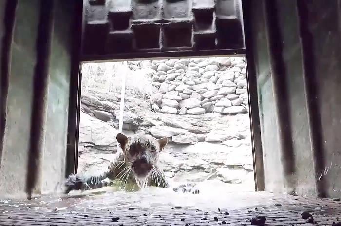 Soccorritori salvano un leopardo che stava per annegare in un pozzo
