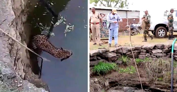 Guardate come questi ingegnosi soccorritori salvano un leopardo che stava per annegare in un pozzo