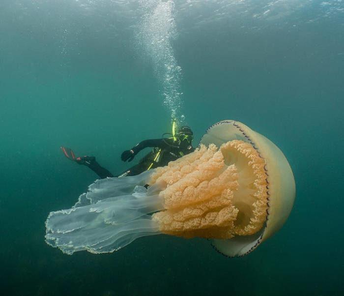 Incontra una medusa gigantesca in Inghilterra e condivide il video: Era grande come me
