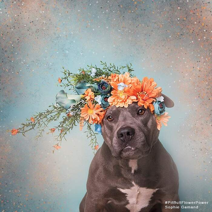 Foto ritratti di pitbull con ghirlande di fiori per essere adottati, Sophie Gamand