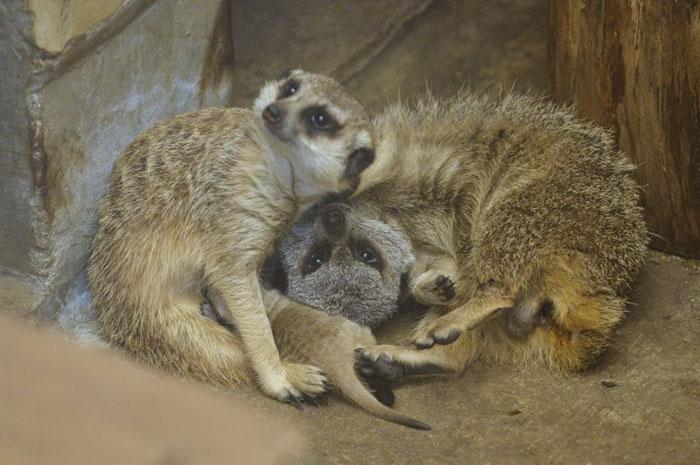 Un adorabile cucciolo di suricato con la sua famiglia