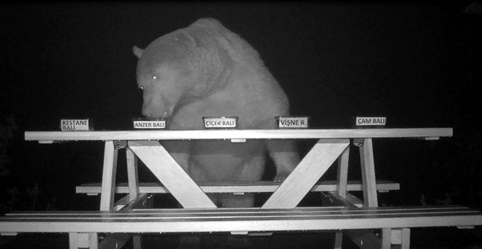 Gli orsi gli rubavano il miele, così questo apicoltore li ha resi dei degustatori di miele