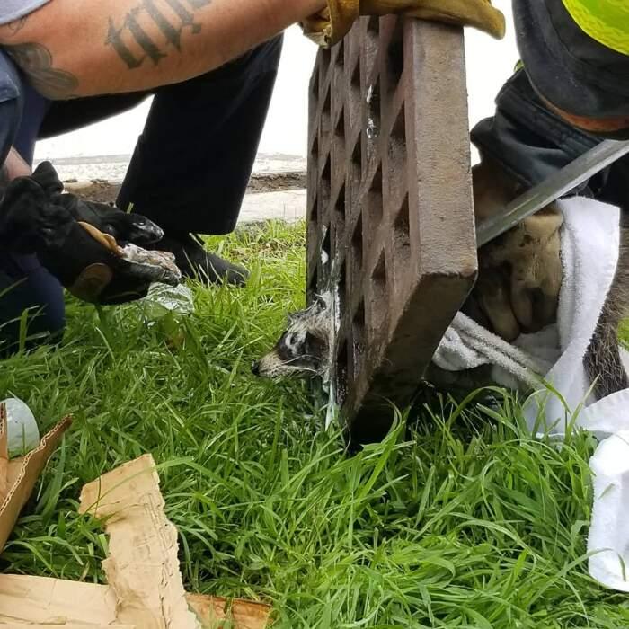 Pompieri salvano un procione incastrato nella grata di un tombino