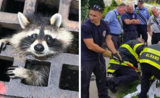 """Pompieri salvano un procione incastrato nella grata di un tombino: """"Soccorriamo cittadini grandi e piccoli"""""""