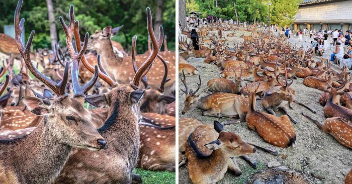 Oltre 600 cervi selvatici si radunano ogni giorno in un parco giapponese, nessuno sa il perché