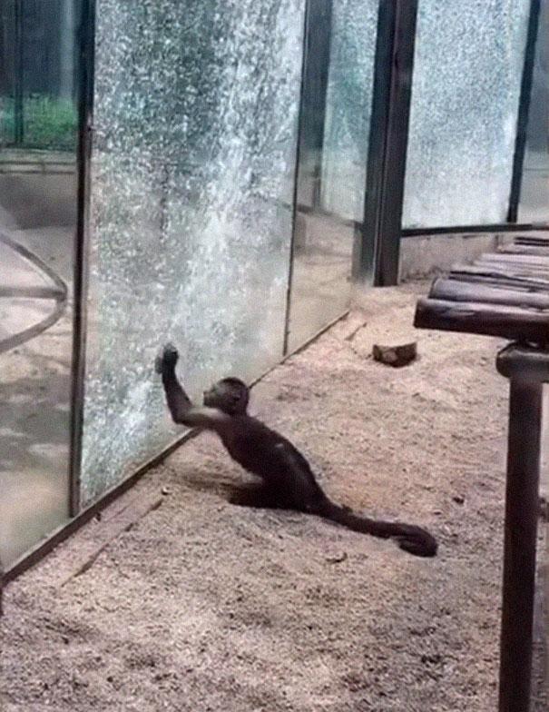 Scimmia rompe pareti di vetro della sua gabbia in zoo della Cina
