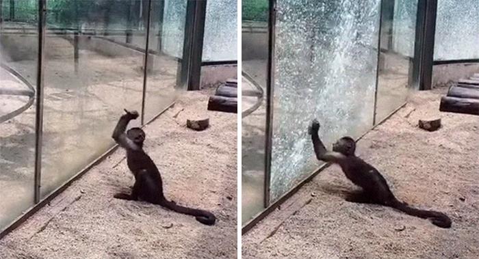 Una scimmia allo Zoo appuntisce una pietra e la usa per frantumare la sua gabbia di vetro