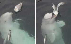 Un delfino bianco cerca di fare amicizia con un gabbiano e il video è fantastico