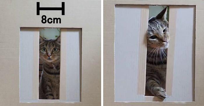 Gatti che attraversano fessure sempre più strette: un divertente video mostra l'esperimento