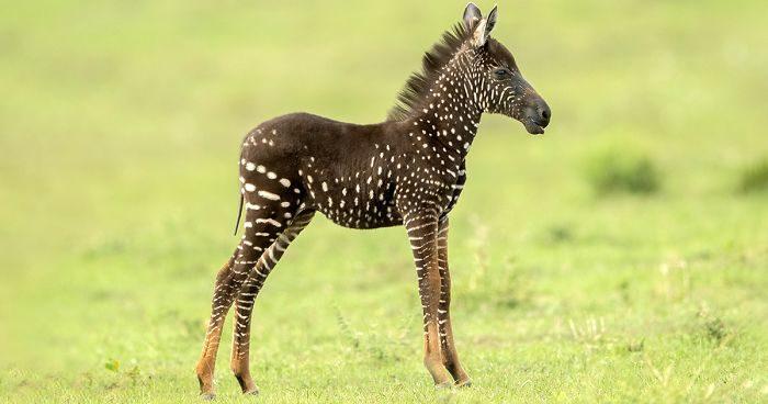 Questa piccola zebra è nata a pois invece che a strisce
