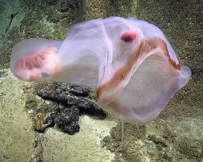 Rara medusa mutaforma, Deepstaria enigmatica