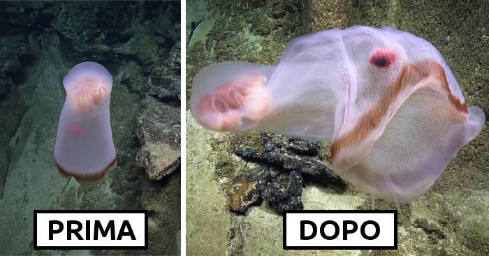 Una rara medusa mutaforma è stata filmata mentre si trasforma a 760 metri di profondità