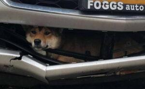 Cane investito viaggia incastrato nel paraurti dell'auto prima di essere notato