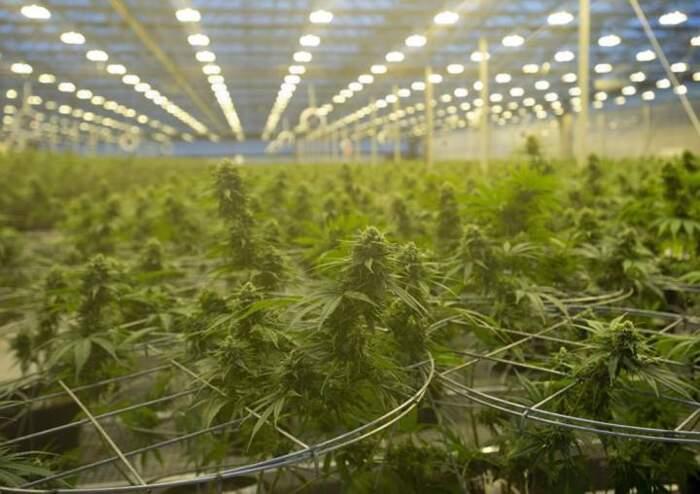 Il Canada offre cannabis legale a $4.49 al grammo, e batte gli spacciatori