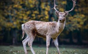 Cacciatore spara a cervo, l'animale ferito si rialza e lo colpisce a morte
