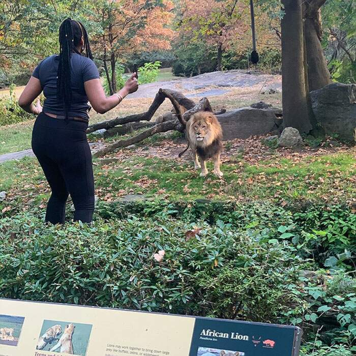 Donna allo zoo scavalca nel recinto del leone per schernire l'animale