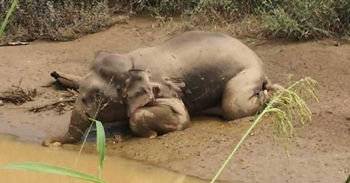 Raro elefante pigmeo trovato morto con 70 proiettili in corpo e le zanne tagliate