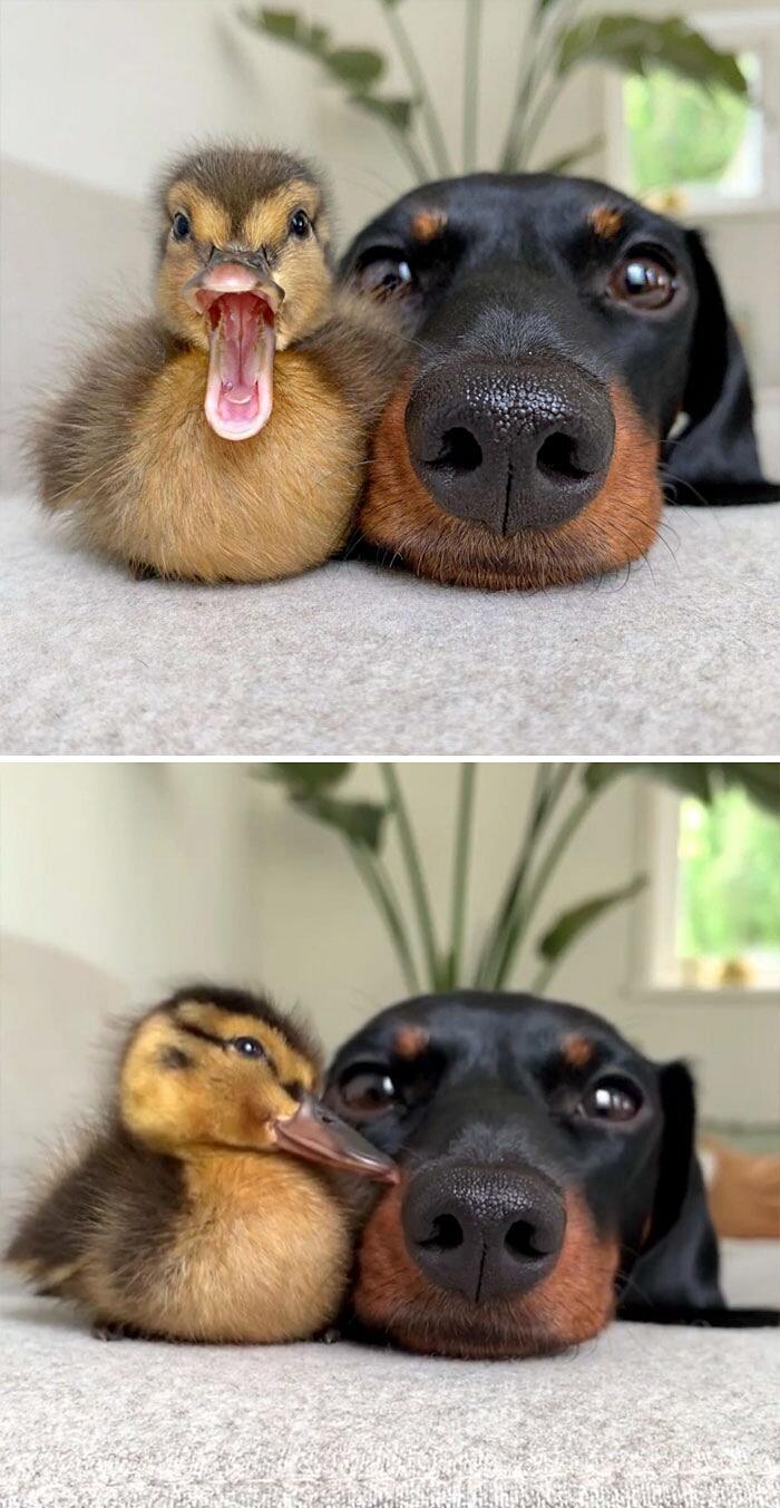 Foto animali teneri anatre