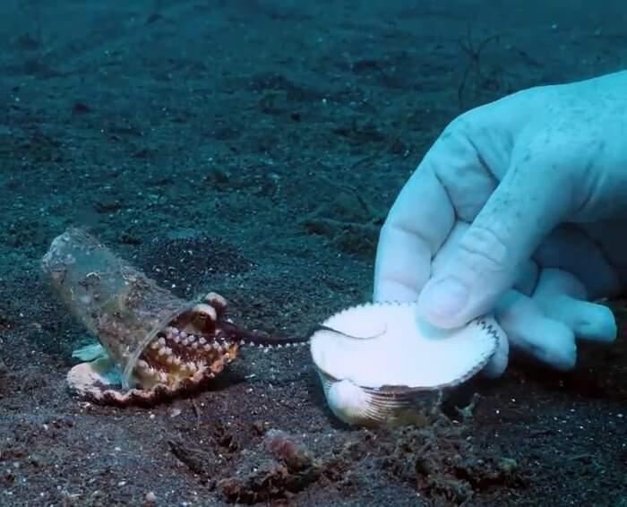 Sommozzatori convincono un piccolo polpo a scambiare il suo bicchiere di plastica con una conchiglia