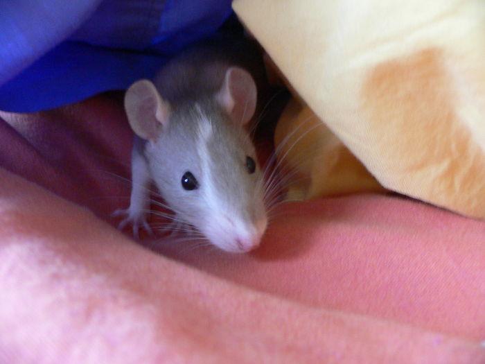 I topi amano giocano a nascondino con gli umani, lo mostra uno studio