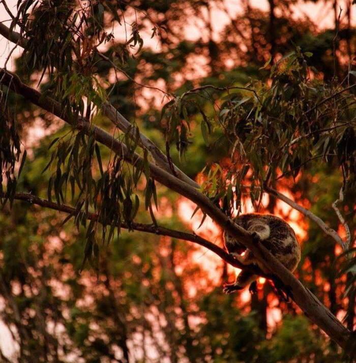 Bear, il cane che sfida le fiamme per salvare i koala dagli incendi boschivi