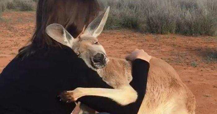 Canguro orfano abbraccia tutti i giorni i suoi soccorritori, ed è adorabile