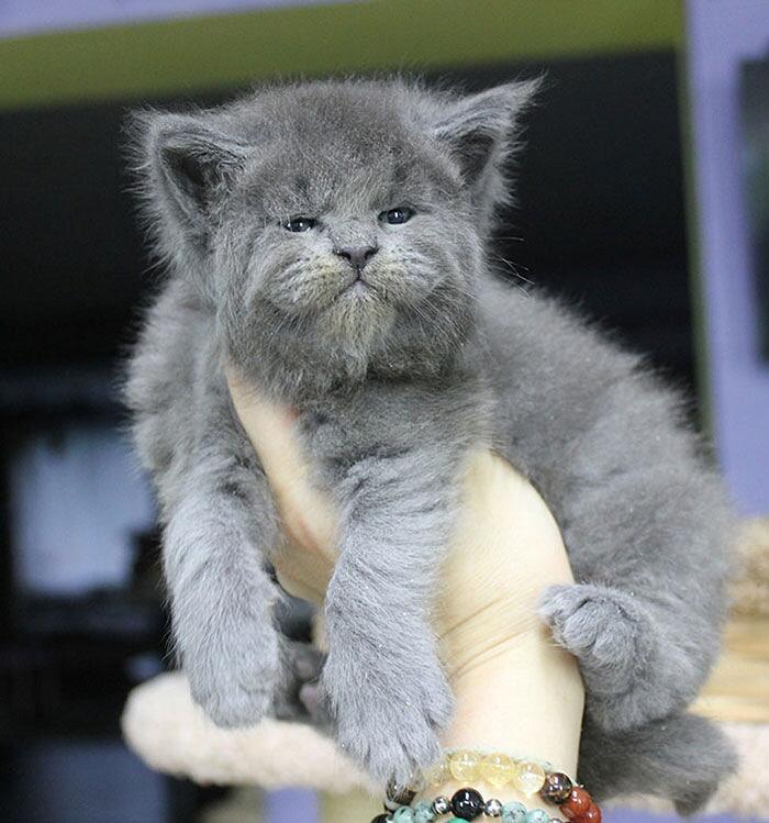 Gattini Maine Coon facce buffe