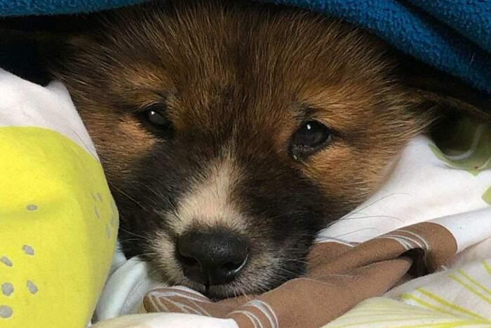 Cucciolo dingo