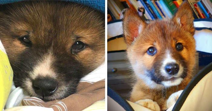 Aquila scarica un cagnolino nel giardino di una casa, ma è un dingo in via d'estinzione