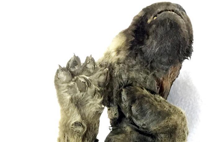 Mummia cane lupo vissuto 18000 anni fa Siberia