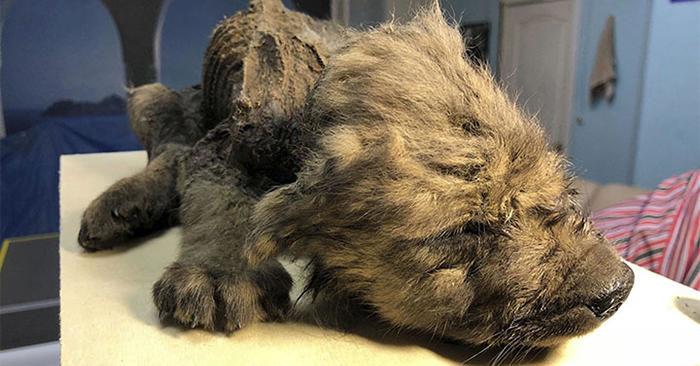 Cucciolo di Lupo-Cane di 18.000 anni ritrovato in Siberia perfettamente conservato