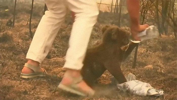 Donna salva koala da un incendio togliendosi la maglietta e rischiando la vita