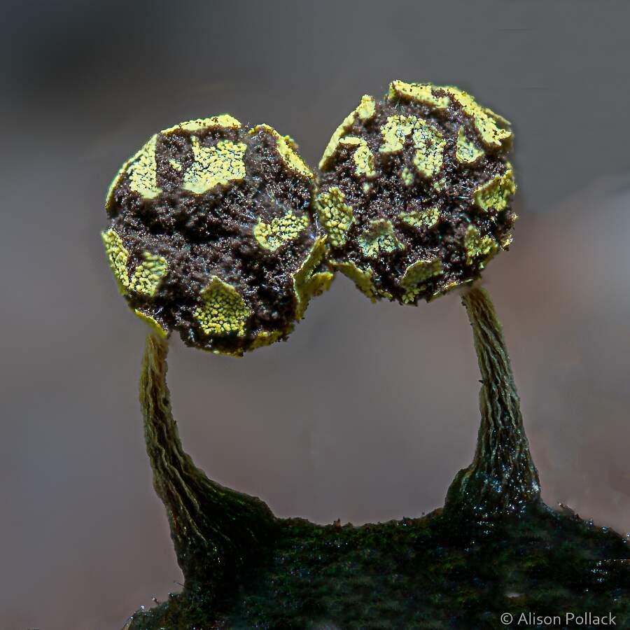 Fotografia macro funghi Alison Pollack