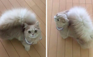 Questo gatto ha una coda incredibile, sembra quella di uno scoiattolo