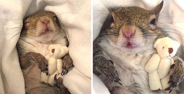 Questo scoiattolo salvato dall'uragano Isaac non va a dormire senza il suo orsacchiotto
