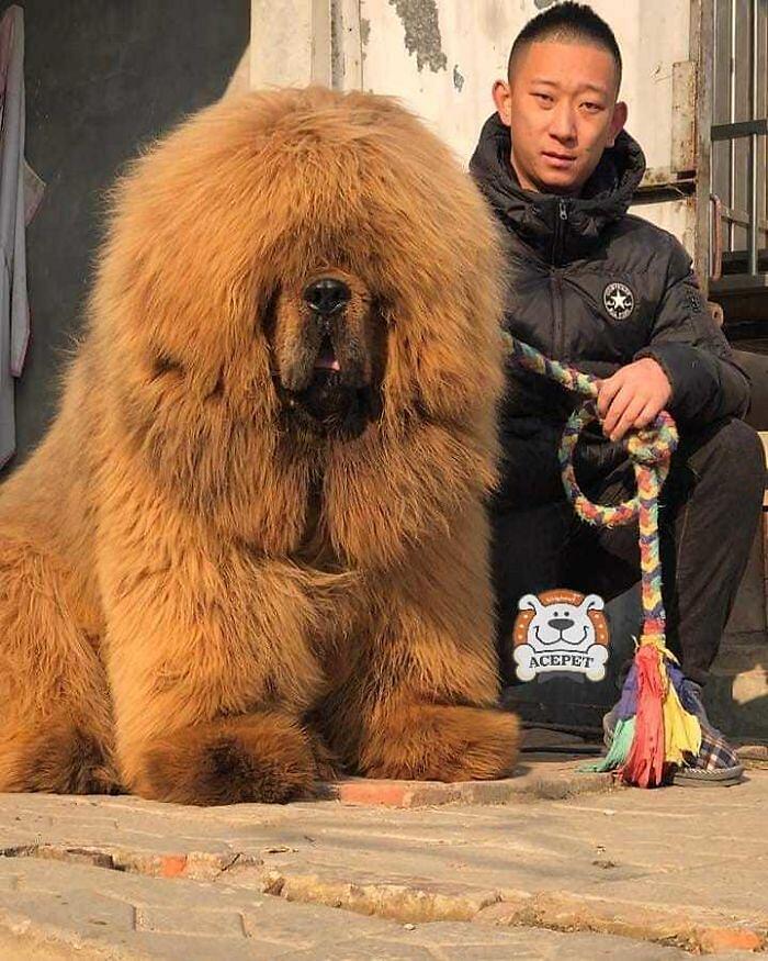 Mastino Tibetano